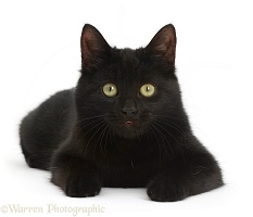 Black kitten lying with head up