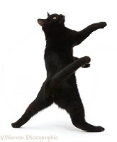 Black kitten reaching up