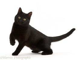 Playful black kitten