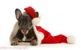 Blue-and-tan French Bulldog puppy in a Santa hat