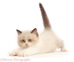 Persian-x-Ragdoll kitten, 7 weeks old, playfully pouncing