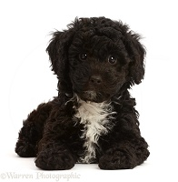 Black Poodle-cross puppy