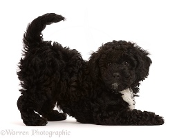 Playful black Poodle-cross puppy