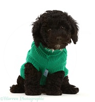 Black Poodle-cross puppy wearing green knitted jersey