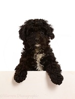 Black Poodle-cross puppy with paws over