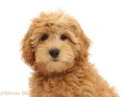 Cute Goldendoodle puppy portrait