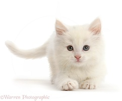 Playful white kitten