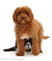 Black-and-white kitten hiding under red Cavapoo puppy
