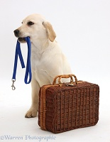 Labrador Retriever pup waiting with suitcase and lead in mouth