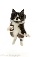 Black-and-white kitten jumping up and reaching out both paws