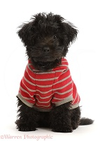 Black Poodle-cross puppy wearing a stripy hoody
