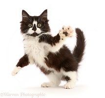 Black-and-white kitten jumping up and swiping