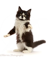 Black-and-white kitten sitting up and reaching out