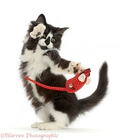 Black-and-white kitten flipping a toy mouse