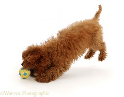 Red Cavapoo puppy leaping to catch a ball