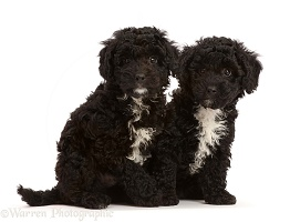 Two black Poodle-cross puppy