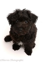 Black Poodle-cross puppy looking up