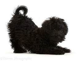 Black Poodle-cross puppy in play-bow