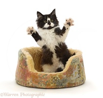 Black-and-white kitten in basket, jumping up with spread paws