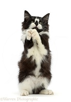 Black-and-white kitten clasping paws in a begging manner