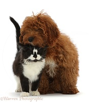 Black-and-white kitten and red Cavapoo puppy