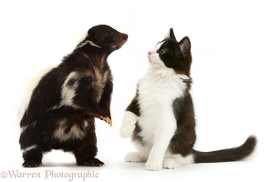 Striped Skunk and black-and-white kitten