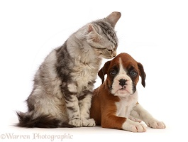 Silver tabby kitten and Boxer puppy
