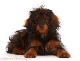 Black-and-tan Cavapoo puppy