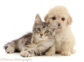Silver tabby kitten and Cavapoochon puppy