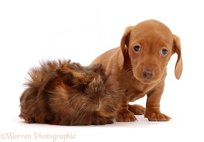Red Dachshund puppy and Guinea pig