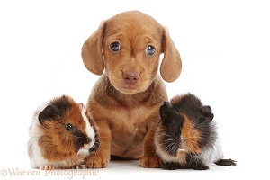 Red Dachshund puppy and Guinea pigs