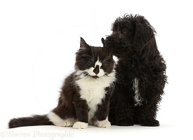 Black Poodle-cross puppy with black-and-white kitten