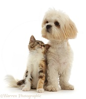 Tortoiseshell-tabby kitten with cream Shih-tzu