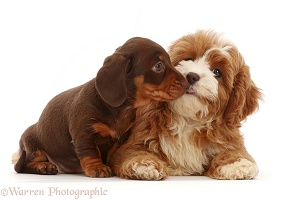 Chocolate Dachshund puppy with Cavapoo puppy