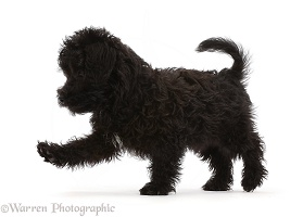Black Poodle-cross puppy, walking across