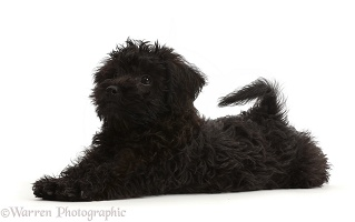 Black Poodle-cross puppy lying spread out