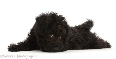 Black Poodle-cross puppy lying spread out, cheeky face