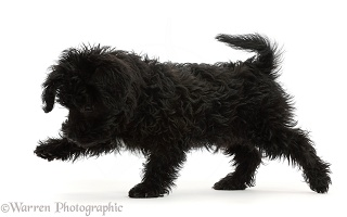 Black Poodle-cross puppy walking across