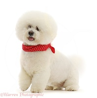 Bichon Frise dog, wearing a red bandanna