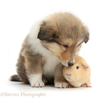 Sable Rough Collie puppy and yellow Guinea pig