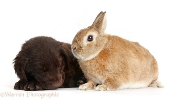 Flatcoated Retriever puppy and rabbit