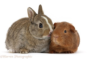 Baby bunny with red baby Guinea pig