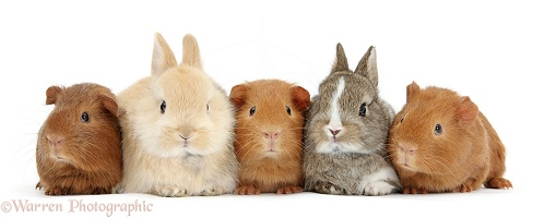 Two baby bunnies with three baby red Guinea pigs in a row