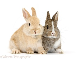 Netherland Dwarf cross bunnies