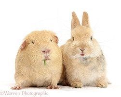 Young bunny with yellow Guinea pig
