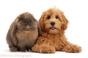 Cute Goldendoodle puppy and rabbit