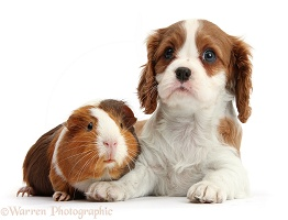 Blenheim Cavalier pup and Guinea pig