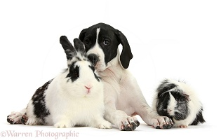 English Pointer puppy, Guinea pig and rabbit