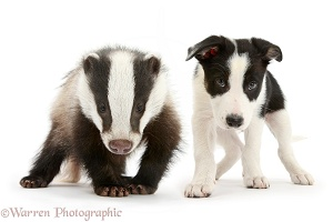 Black-and-white Border Collie pup and Badger