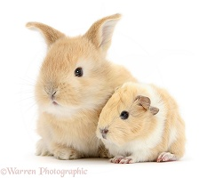 Sandy rabbit with cinnamon-and-white Guinea pig